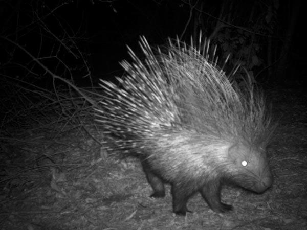 Camera Trap Pictures - crested porcupine - Kenya