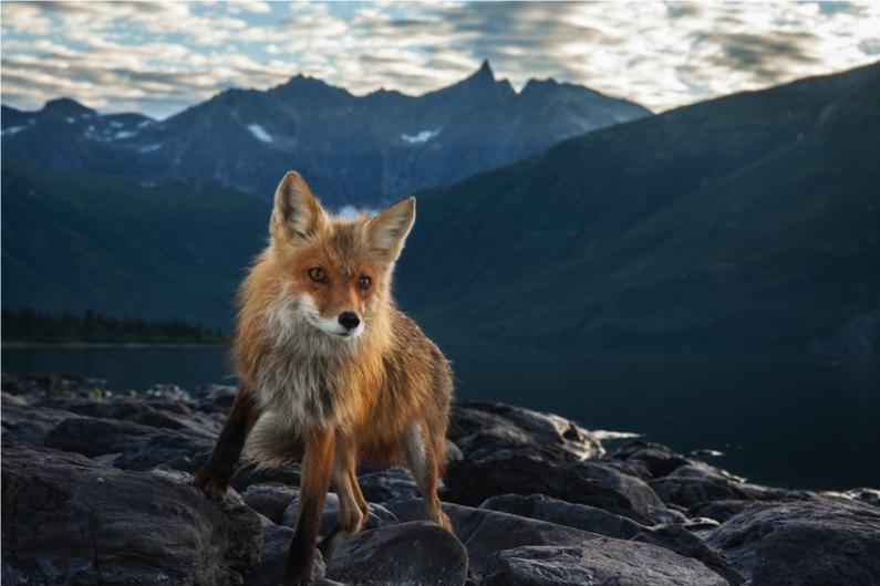 Camera Trap - Red fox, Wood-Tikchik State Park, Alaska