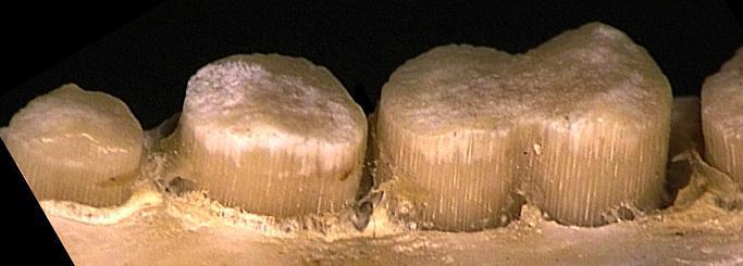 Living Fossils - Aardvark teeth