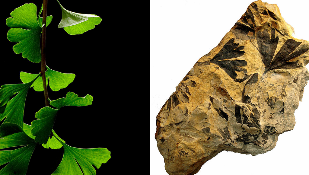Living Fossils - Ginkgo 170 million-years comparison