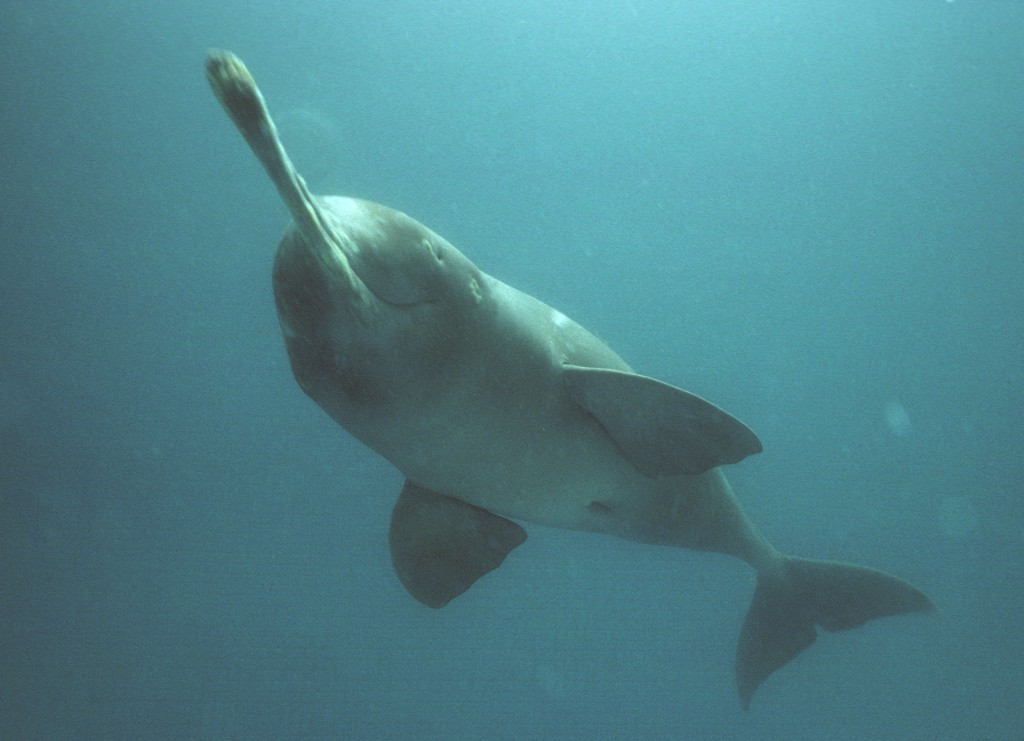 Plataniste or Ganges river dolphin  BangladeshBaby Baiji Dolphin