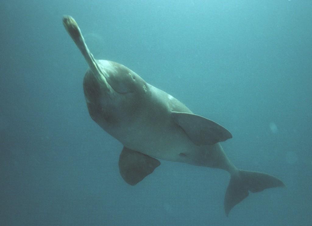 Plataniste or Ganges river dolphin, Bangladesh