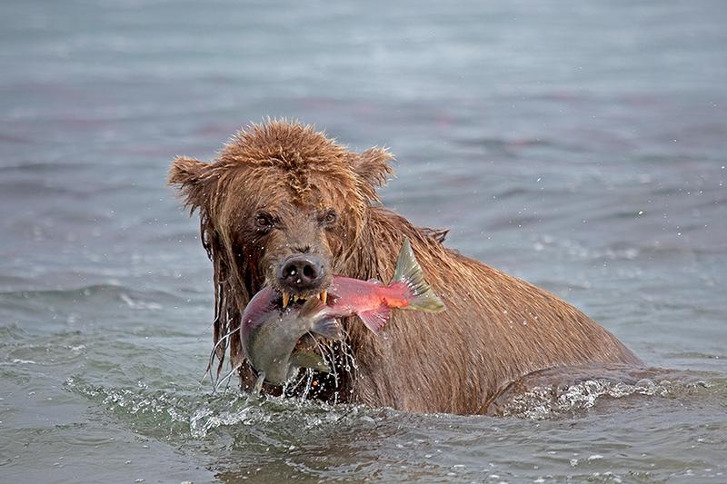 Kurill Kurile Lake Kamchatka Russia Bear with wonky face
