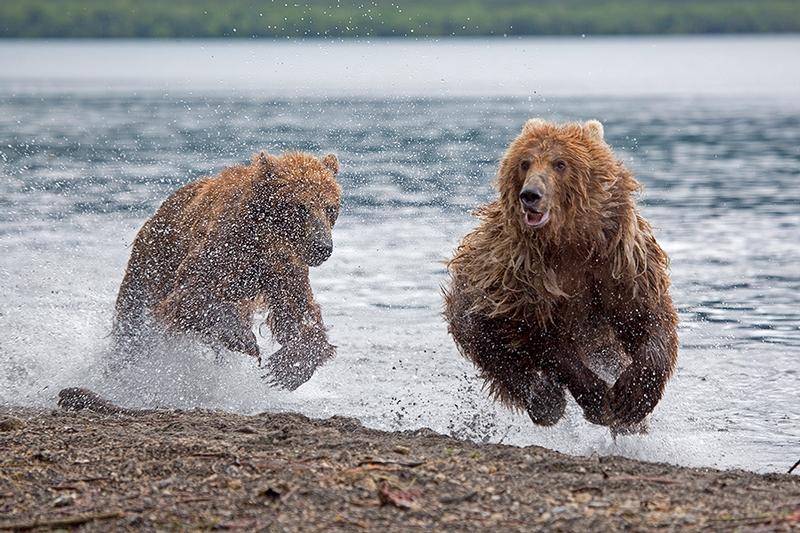 Kurill Kurile Lake Kamchatka Russia Bears - Galloping bear