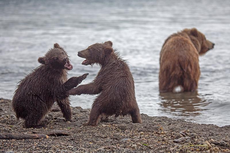 Kurill Kurile Lake Kamchatka Russia Bears - cub fight
