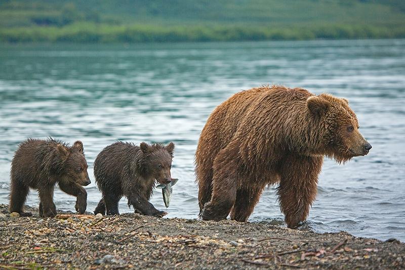 Kurill Kurile Lake Kamchatka Russia Bears - cub with salmon