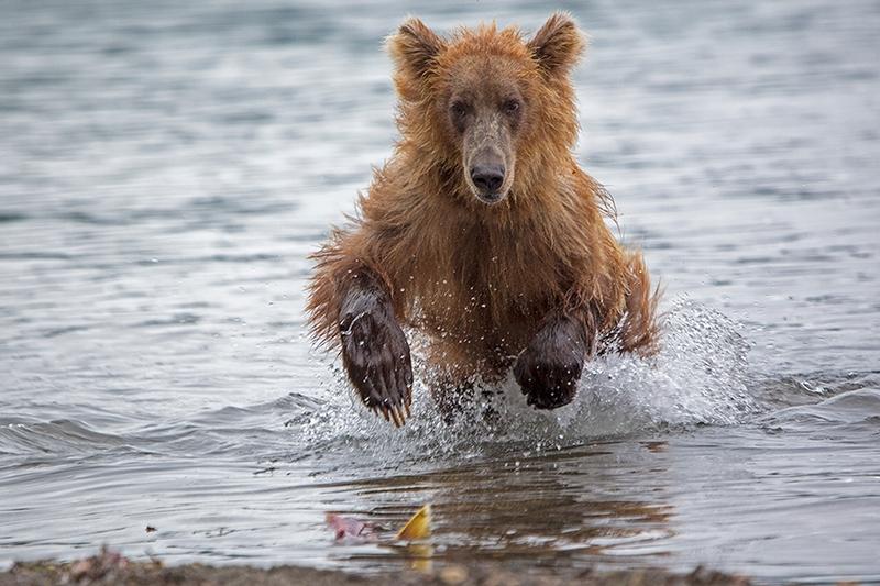 Kurill Kurile Lake Kamchatka Russia Running bear