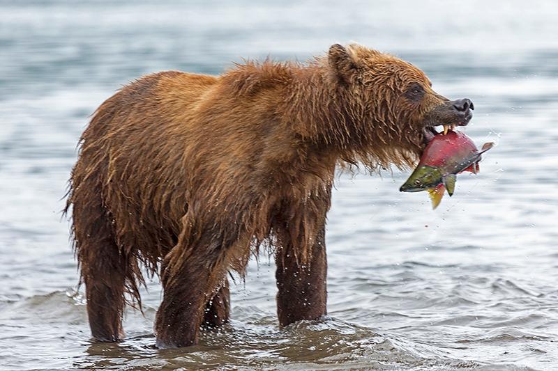 Kurill Kurile Lake Kamchatka Russia bear caught fish