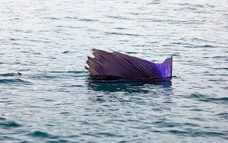Sailfish - Fastest Fish - Sail Raising Behaviour