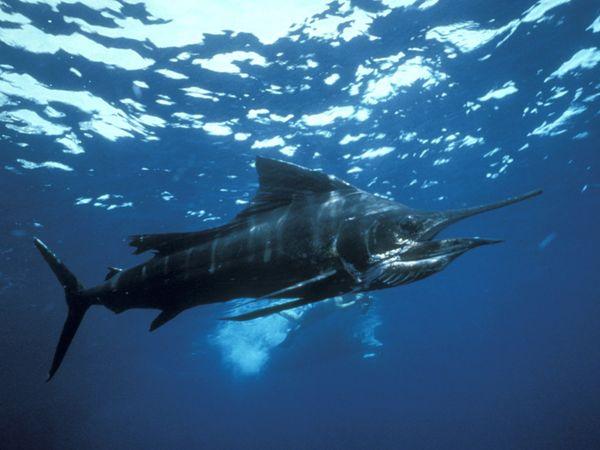 Sailfish - Fastest Fish - battle hardened