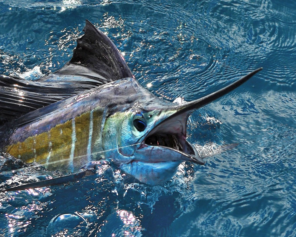 Sailfish Fastest Fish In The Ocean Lazer Horse