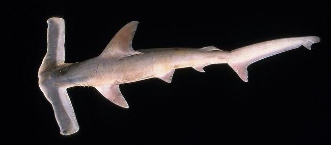 Winghead Shark - hammerhead - dorsal