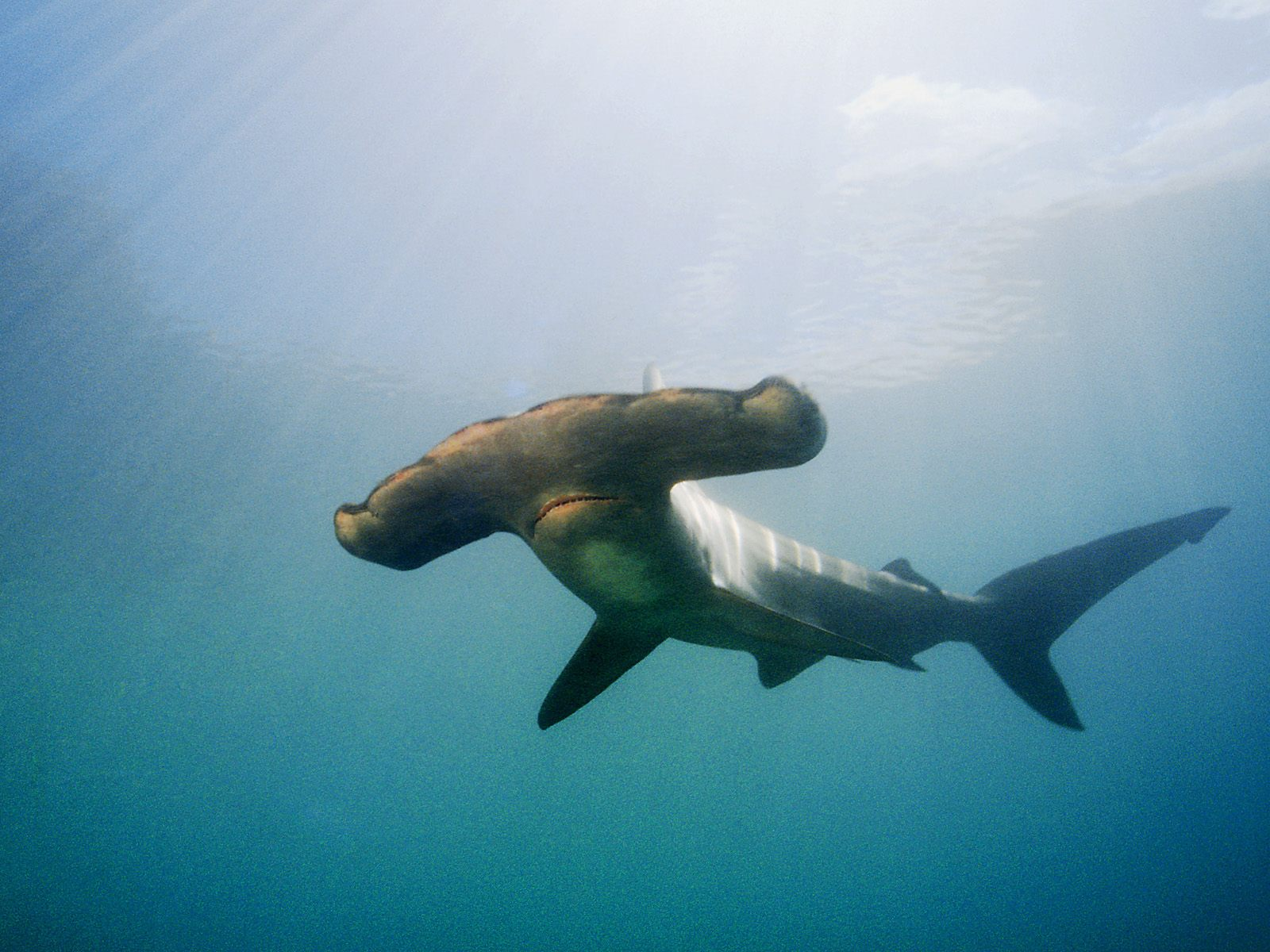 The Wonderfully Weird Winghead Shark • Lazer Horse