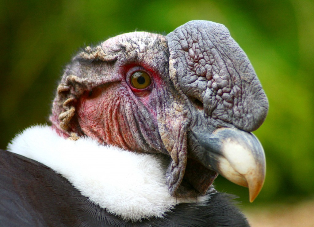 Andean Condor Vultur gryphus close up