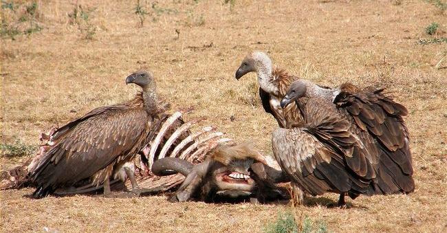 Andean Condor eating feeding