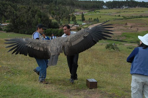 Andean Condor huge wingspan biggest