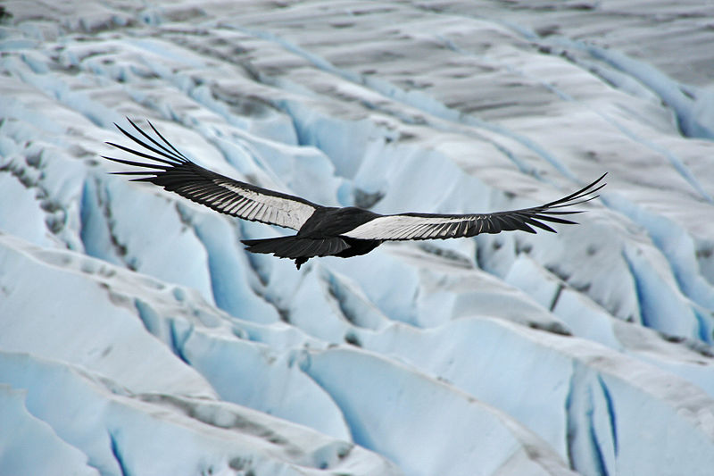 Andean Condor in the Andes