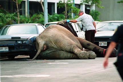 Elephants - Tyke Rampage Dead against car