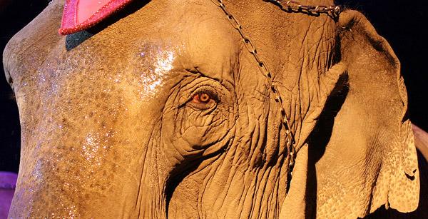 Elephants - Tyke Rampage Dead