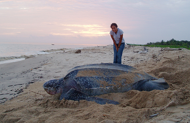 Leatherback Turtle Size next to person