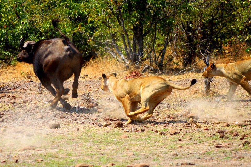 Lion Vs Buffalo • Lazer Horse