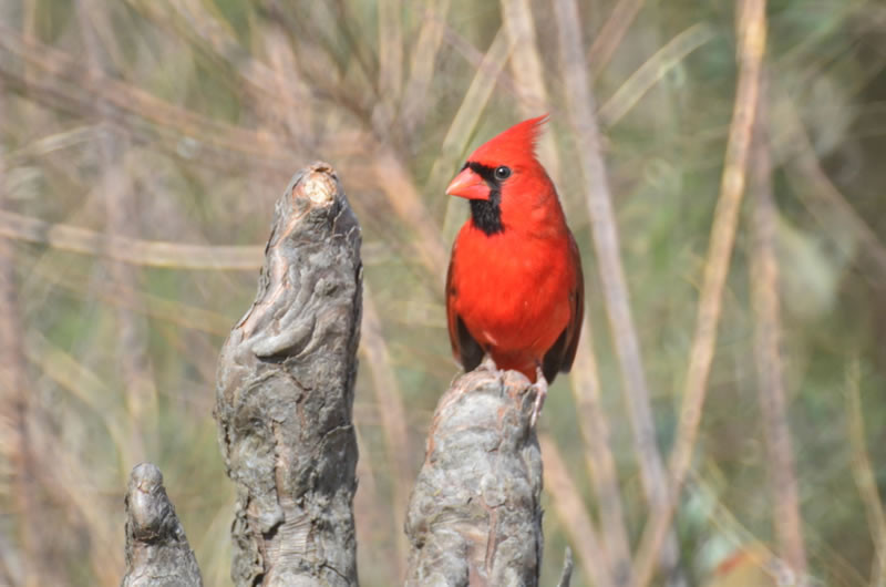 Okefenokee Swamp - Cardinal
