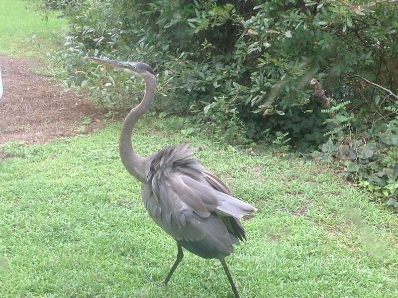 Okefenokee Swamp - Heron
