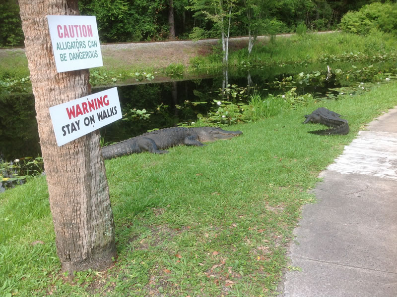 Okefenokee Swamp - Swamp Walk alligator path