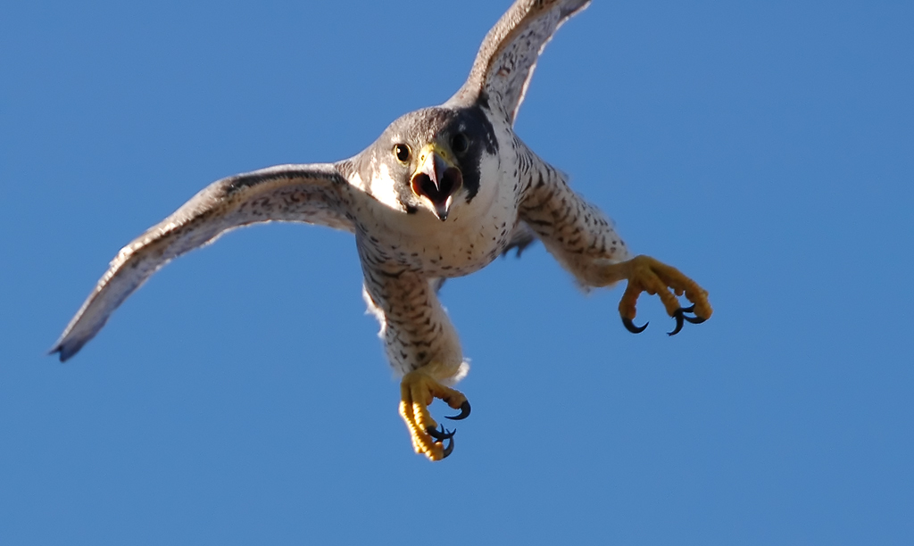 Peregrine Falcon - Fastest Animal - ATTACK