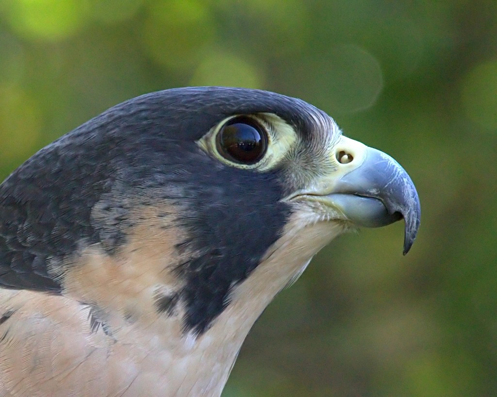 Peregrine Falcon - Fastest Animal - Notched Beak