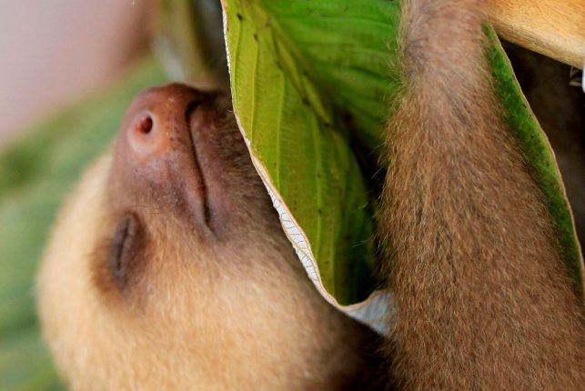 Sloth Sanctuary Costa Rica - asleep