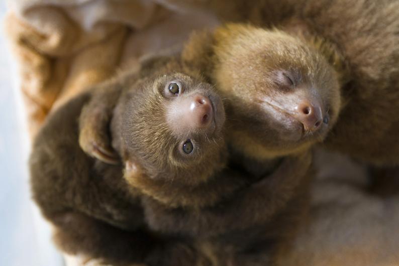 Sloth Sanctuary Costa Rica - cuddling sloths