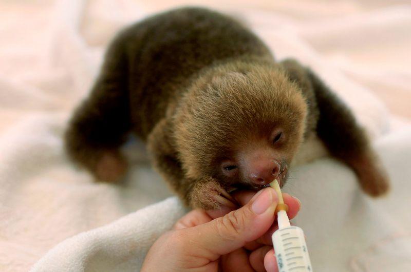 Sloth Sanctuary Costa Rica - feeding