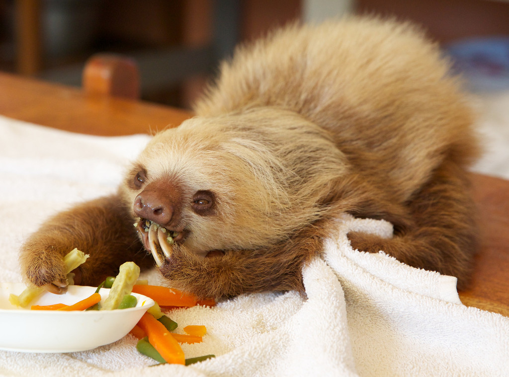 Sloth Sanctuary Costa Rica - peckish
