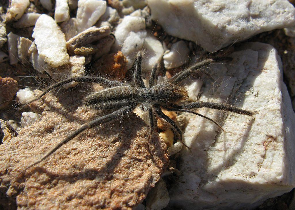Solifugid Solpugidae - Male Solifugid in South African Veld