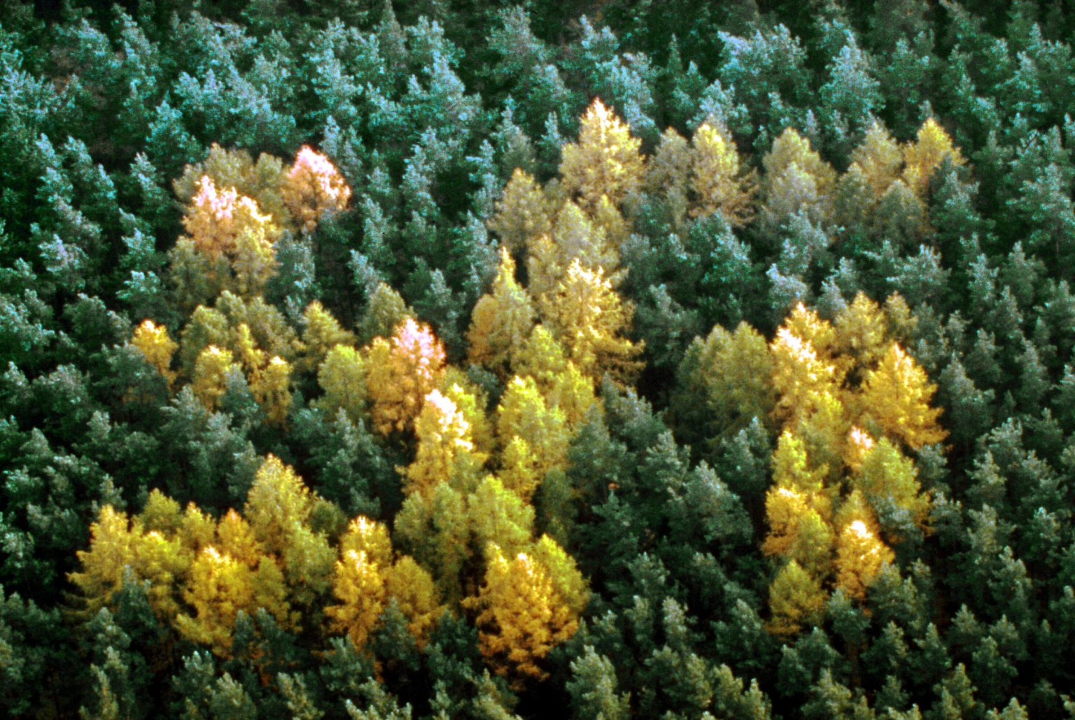 AERIAL VIEW OF A NAZI SWASTIKA OF LARCH TREES IN A FOREST OF SPRUCE FIRS PRENZLAN PLANTED BY NAZIS DURING SECOND WORLD WAR GERMANY