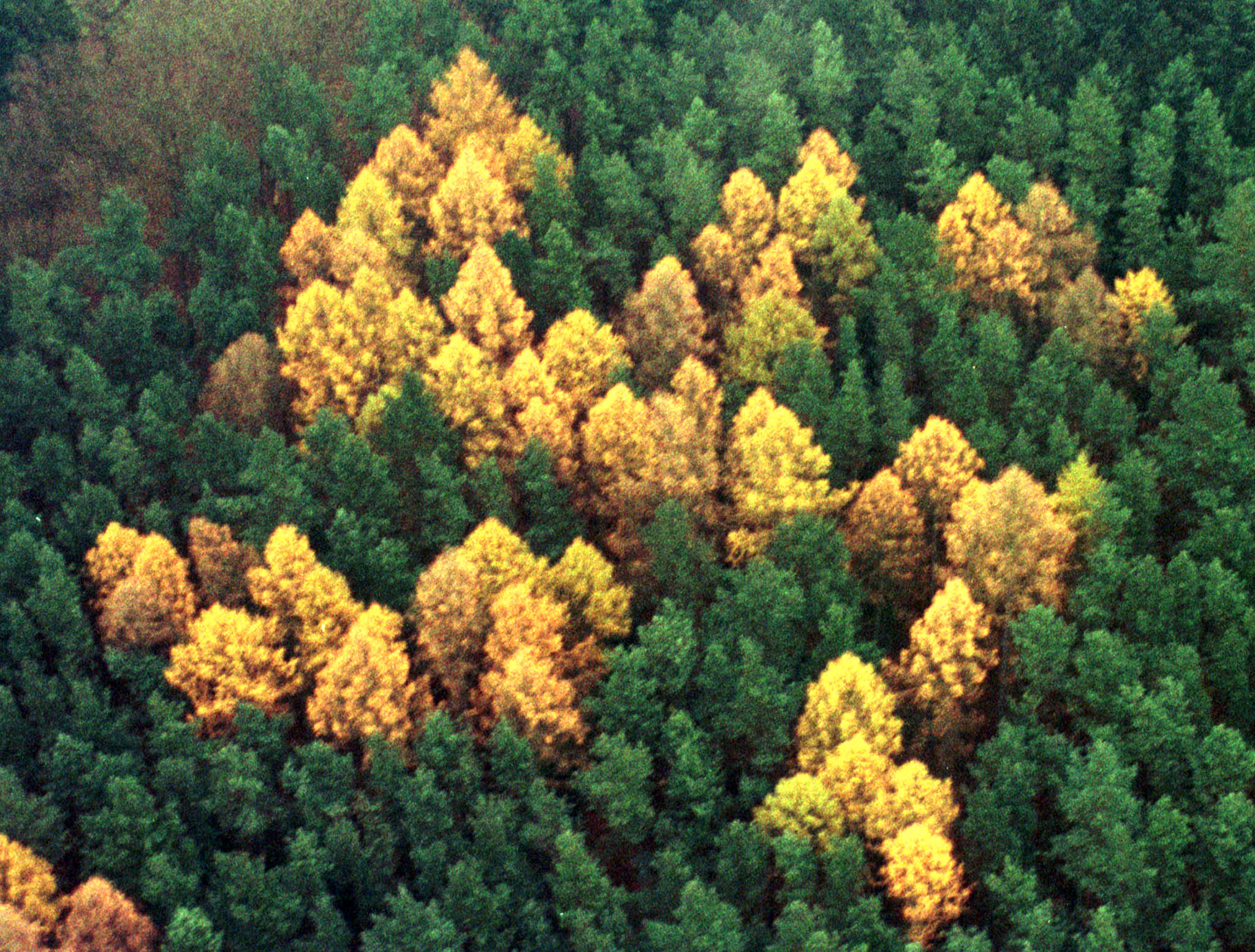 An aerial view shows a giant 60-by-60 metre swastika symbol consisting of larch trees amid a green p..