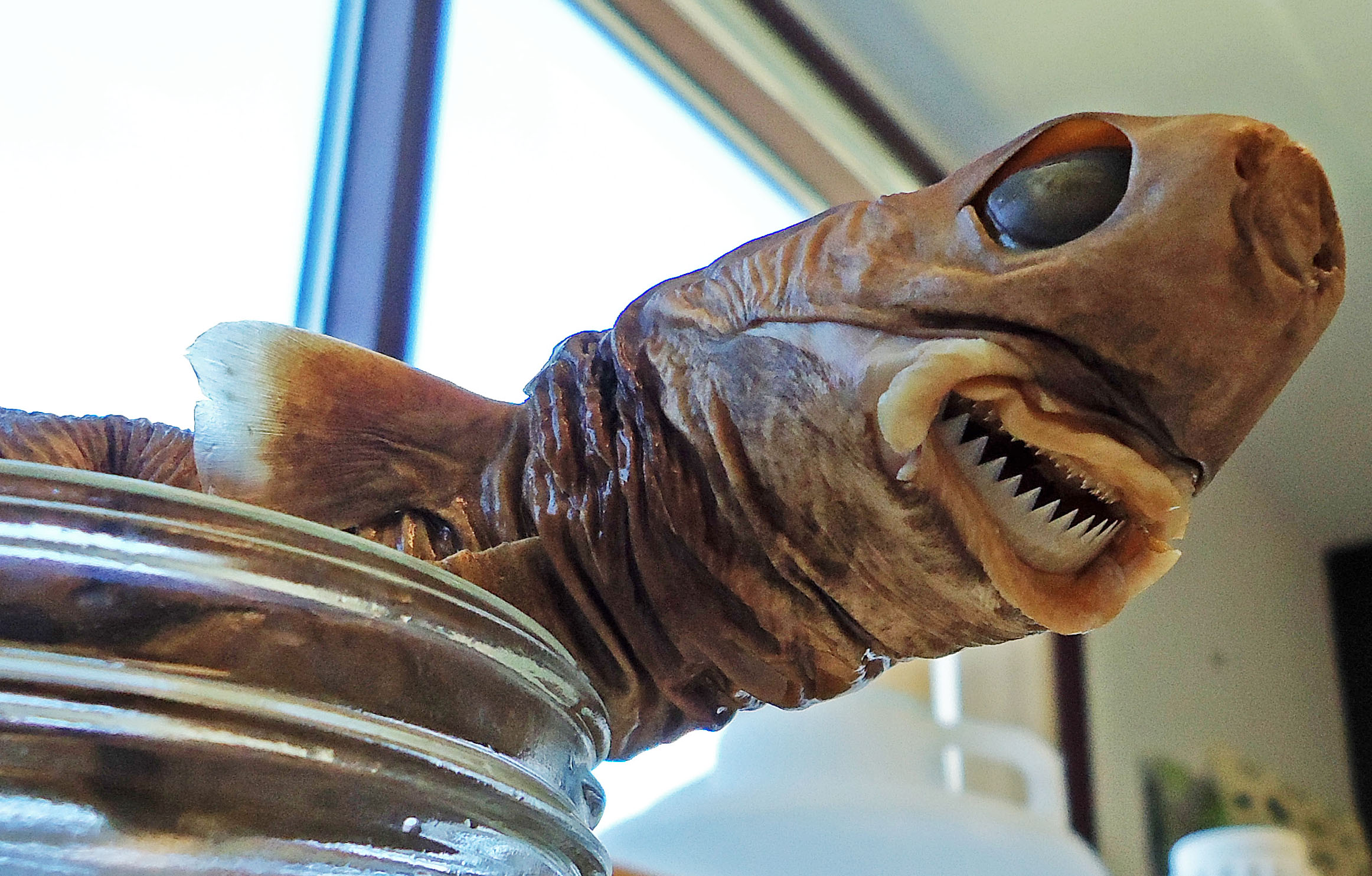 Cookiecutter Shark - preserved