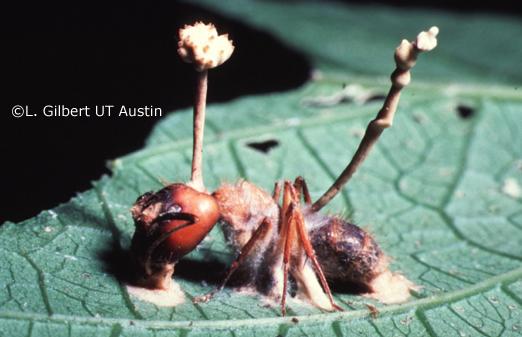 Cordyceps - Camponotus ant with Cordyceps lloydii
