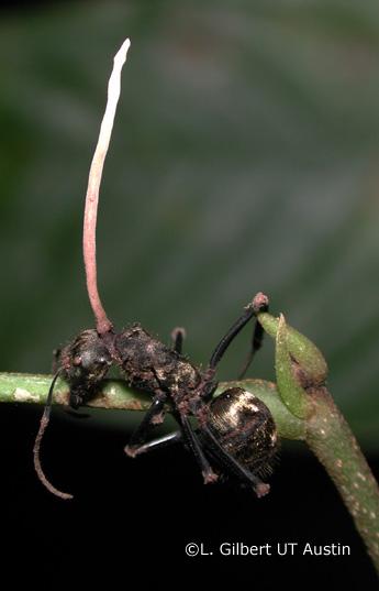 Cordyceps - Camponotus ant with Hirsutella species
