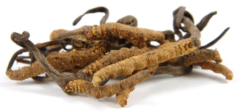 Cordyceps - Ophiocordyceps sinensis 2