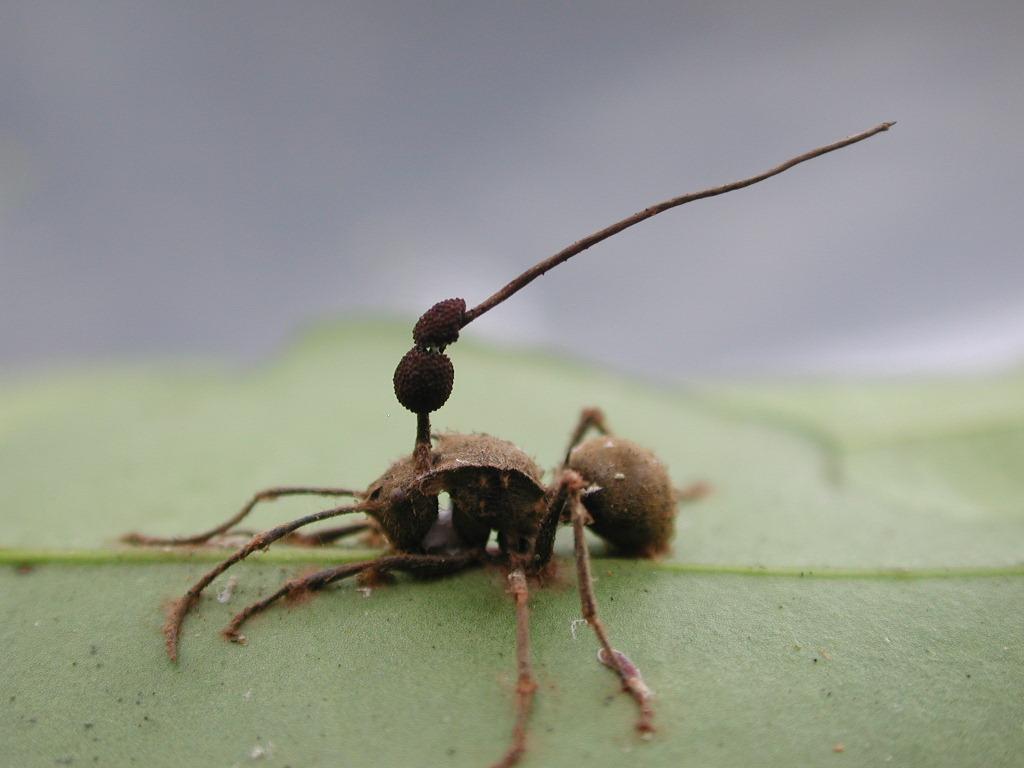 Cordyceps - Parasitic Fungus - Cordyceps unilateralis