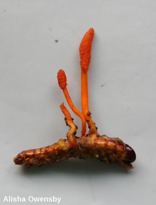 Cordyceps - Parasitic Fungus - Stroma of Cordyceps formosana from Fujian, China