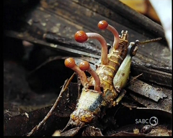 Cordyceps - Parasitic Fungus - cricket 2