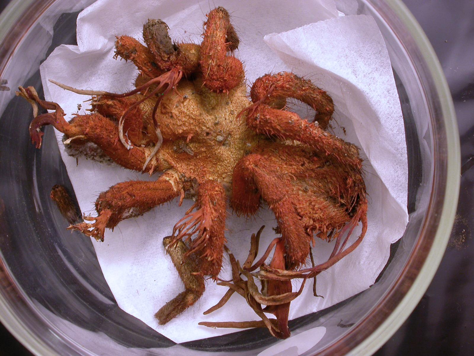 Cordyceps - Parasitic Fungus - tarantula 2