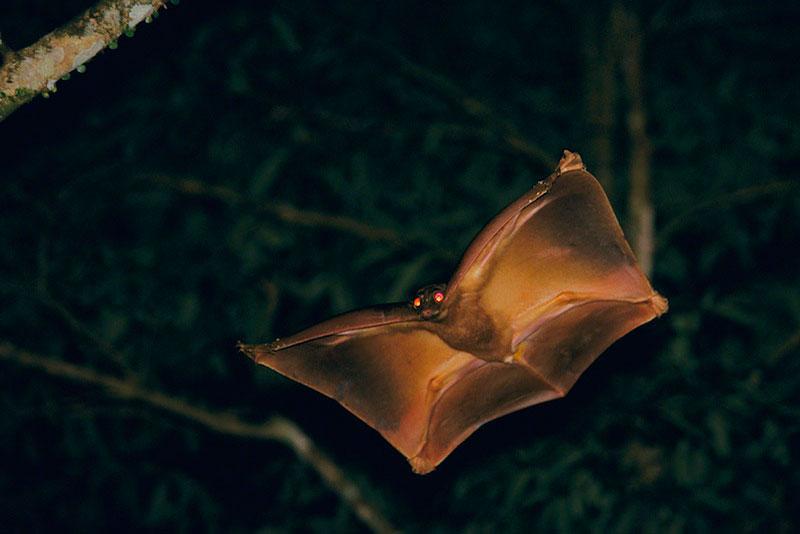Flying Lemur Colugo - Sarawak