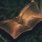 Colugo: Amazing Asian Flying Lemur
