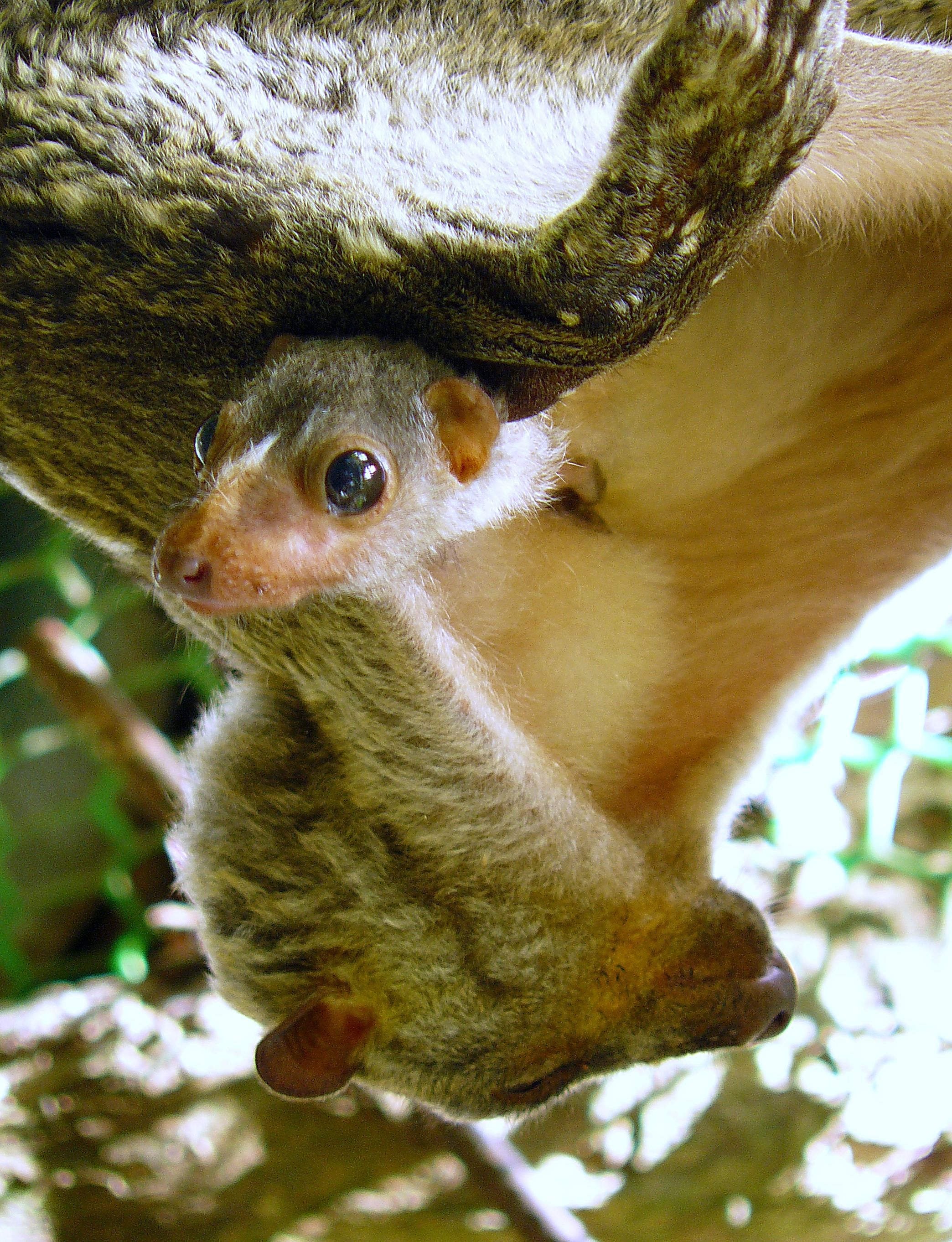 Flying Lemurs - at rest