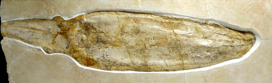 Giant Squid Rare Cuttle Fish Fossil good condition
