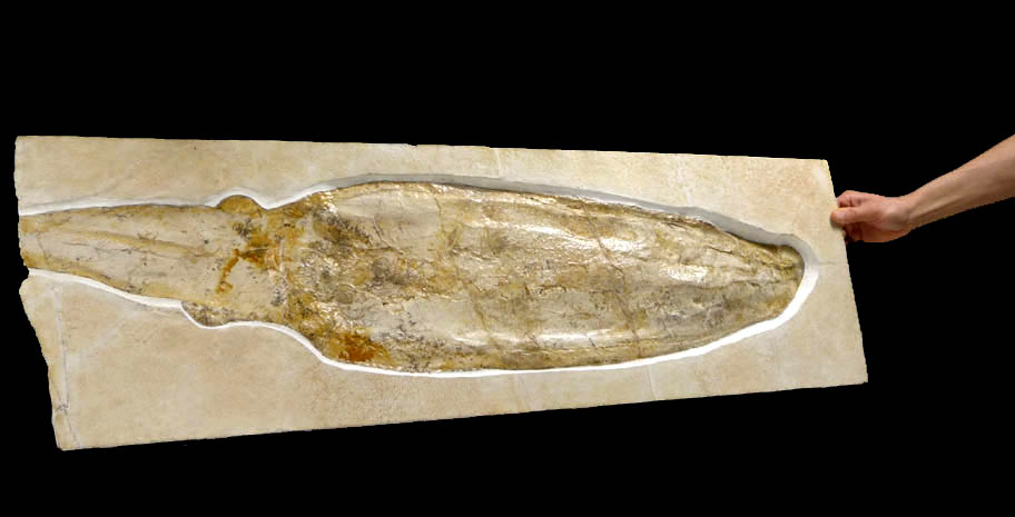Giant Squid Rare Cuttle Fish Fossil
